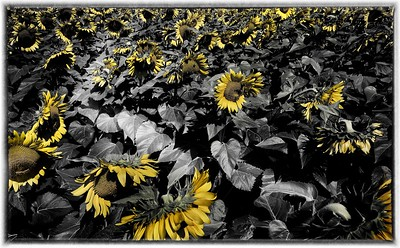 Sunflower2 (1)