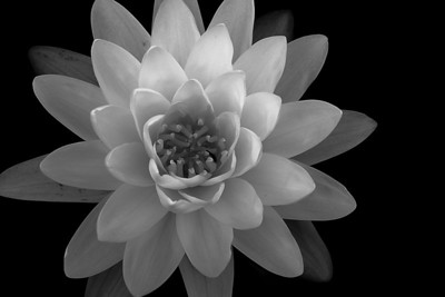 Black & White of a Yellow Sensation Water Lilly