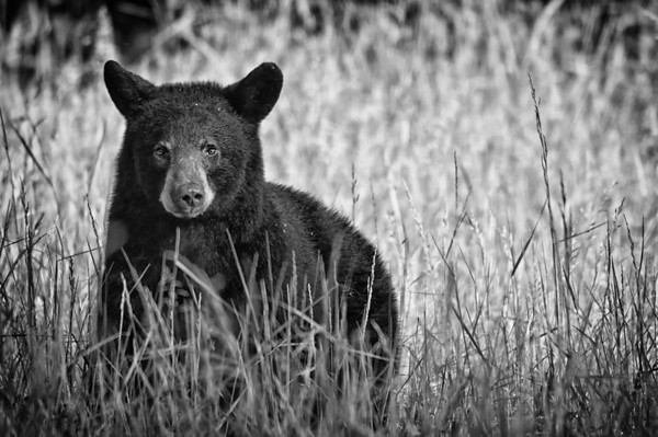 Black Bear, Cades Cove