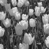 White tulips in monochrome