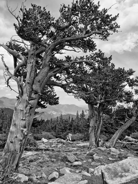Mt. Goliath Natural Area, Mt. Evans Highway, Colorado