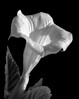 This is my effort to emulate an Imogen Cunningham floral photo.