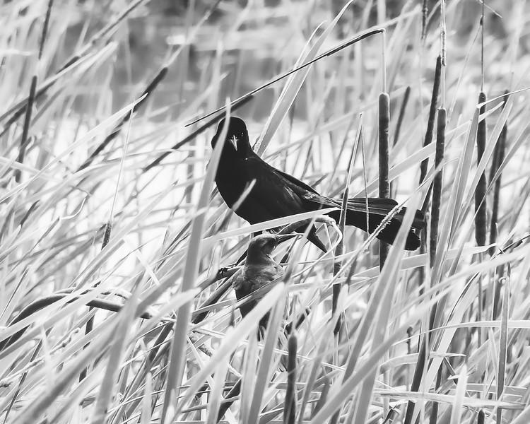 Birds in the Cattails
