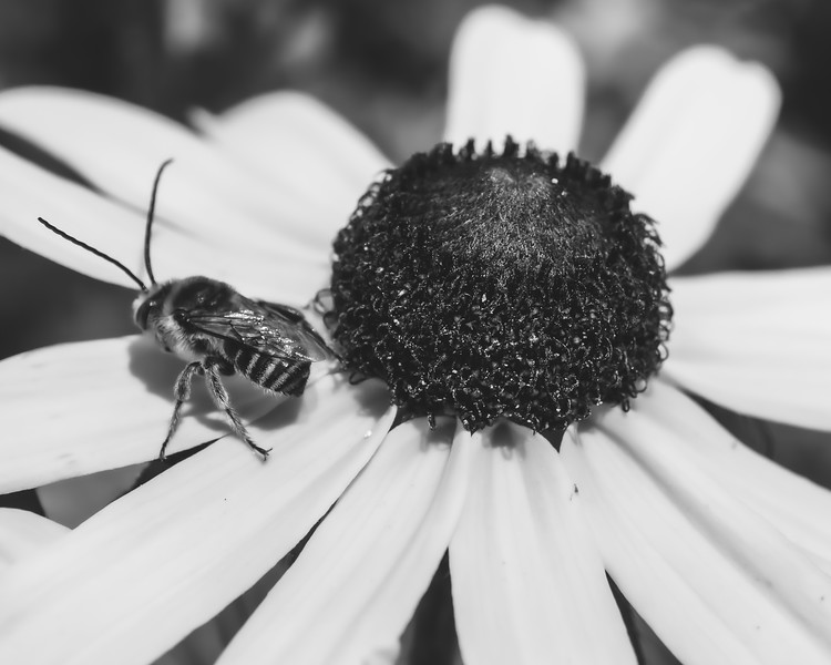 Bee on a Black-eyed Susan