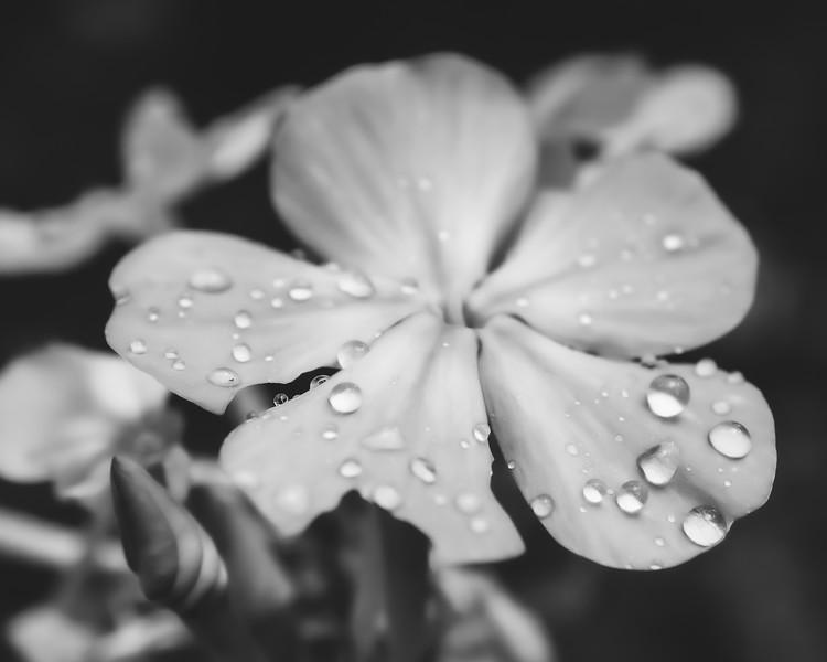 Dew-covered Phlox