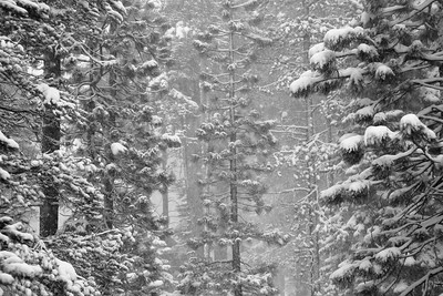 Tahoe Donner Trees 5736bw