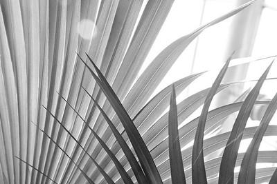 Palm Fans 8664bw