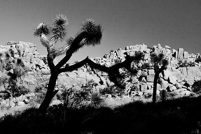 Joshua Tree Silhouettes 2833bw