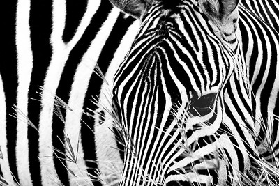 Zebra in Grass 4583bw