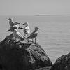 North Stradbroke island - seagulls