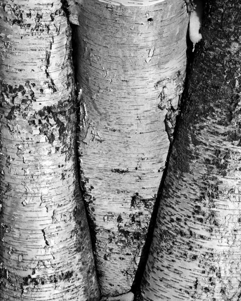 Birch Tree Trunks - Cedar Creek Park - Allentown, PA - 2014