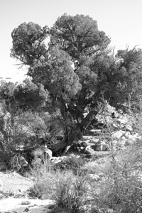 Pinyon Pine In Arches National Park