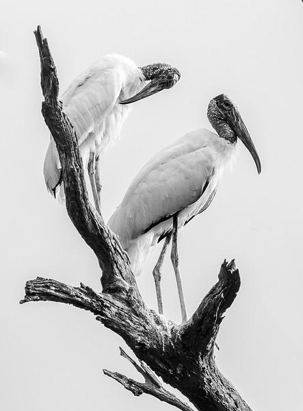 Wood Storks on Wood