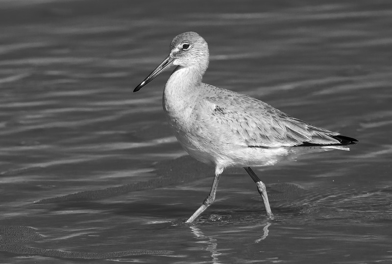 A willet struts along in the surf. Jacksonville Beach, January 2015