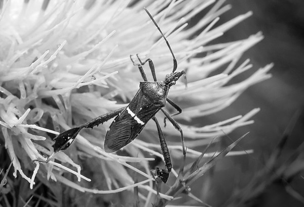 Leaf-footed Bug on Horrible Thistle