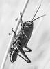Southeastern Lubber Grasshopper (Nymph)