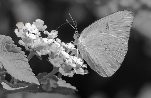 Cloudless Sulfur Butterfly (Phoebis sennae)