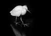 Fledgling Snowy Egret