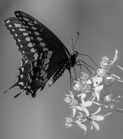 Black Swallowtail Butterfly on Milkweed