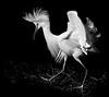 Snowy egret defending a nest site