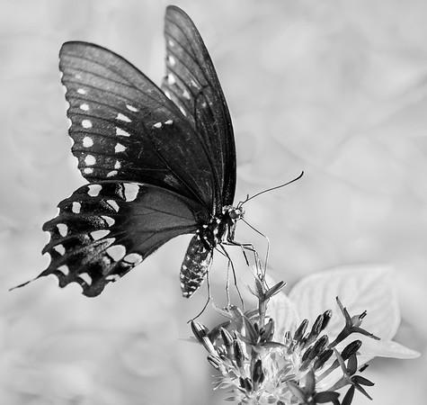 Spicebush Swallowtail (Papilio troilus) on Penta