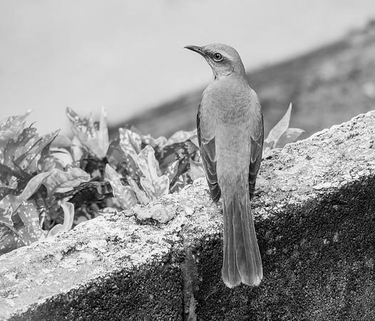 Tropical Mockingbird Trinidad, February 2014