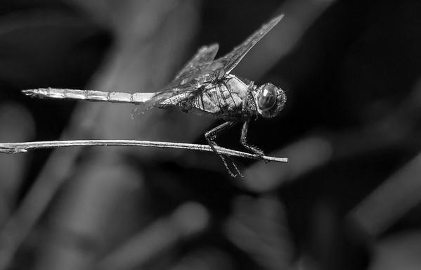 Slaty Skimmer Dragonfly (Libellula incesta)