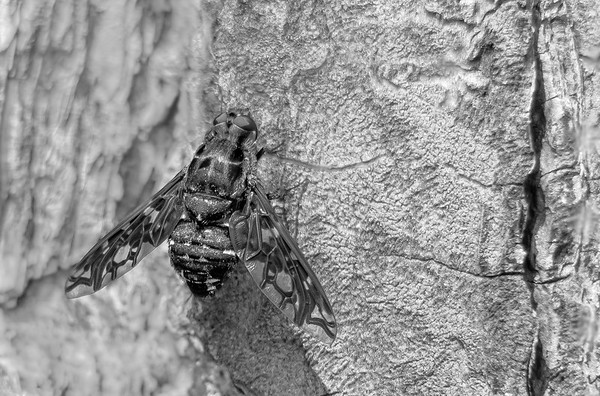 Tiger Bee Fly (Xenox tigrinus)