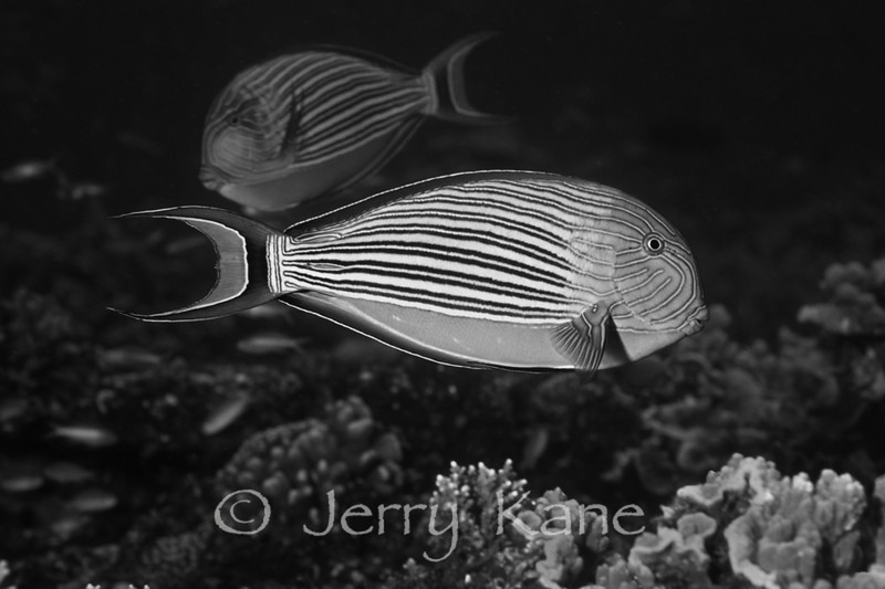 Lined Surgeonfish (arcanthurus lineatus) - Papua New Guinea