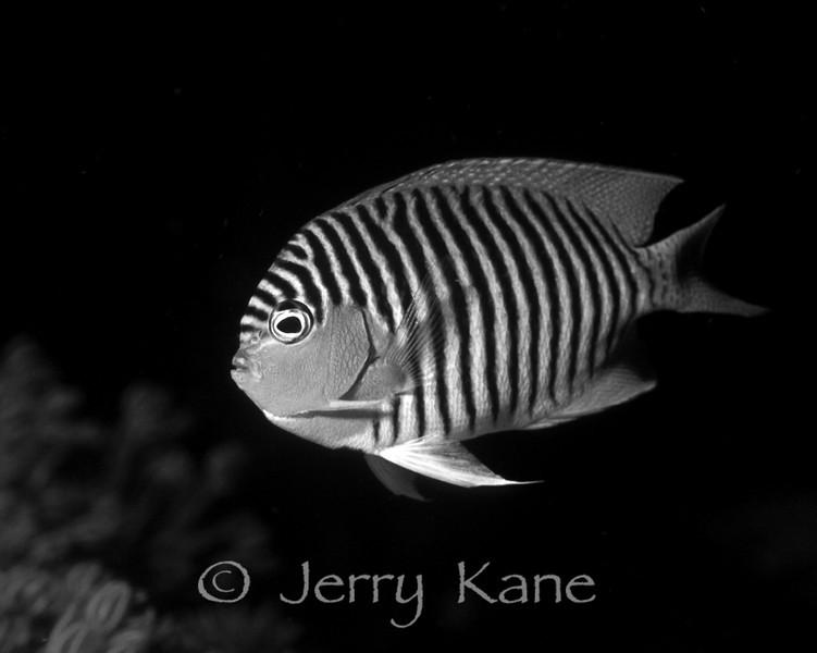 Black-spot Angelfish (genicanthus melanospilos) - Milne Bay, Papua New Guinea