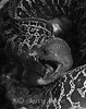 Undulated Moray (Gymnothorax undulatus) - Oahu, Hawaii