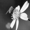 Fly on Bidens Alba