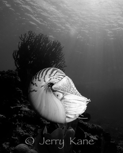 Chambered Nautilus (Nautilus pompilius) - Milne Bay, Papua New Guinea