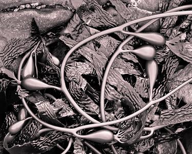 Kelp, Abalone Cove Preserve