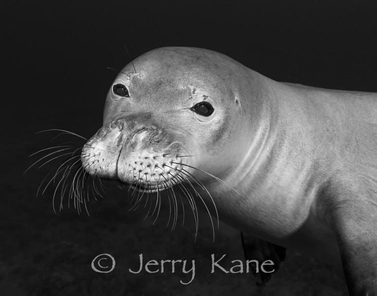 Monk Seal (Monachus schauinslandi) - Hookena, Big Island, Hawaii