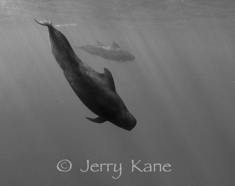 Short-finned Pilot Whales (Globicephala macrorhynchus) - Several miles off Kona, Big Island, Hawaii