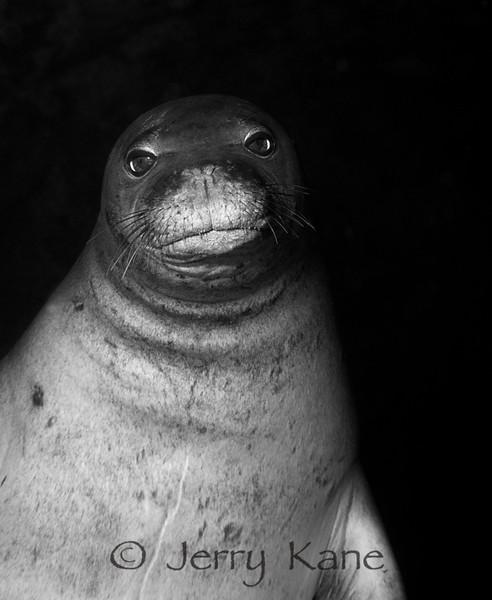 Monk Seal (Monachus schauinslandi) - Sea Cave, Oahu, Hawaii