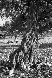 Argania trees