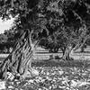 Argania tree