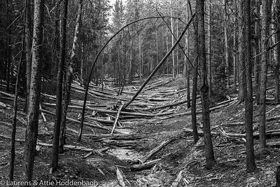 Forest in the Grand Canyon of the Yellowstone