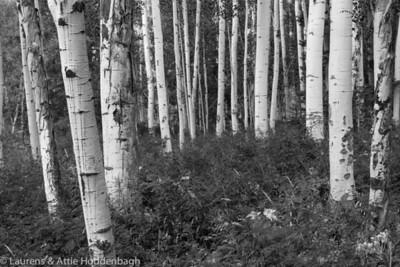 Trees near Mystic Falls, South of Telluride, CO, USA