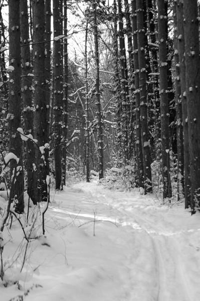 Webster Park Pine Forest