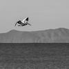 Brown Pelican and Santa Cruz Island