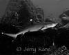 Whitetip Reef Shark (Triaenodon obesus) - Oahu, Hawaii