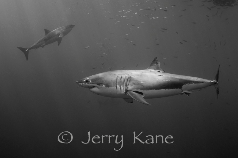 Pair of Great White Sharks (Carcharodon carcharius) in 40 feet of water - Guadalupe Island, Baja California, Mexico