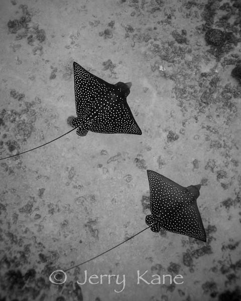 Spotted Eagle Rays (Aetobatis narinari)  - Honokohau, Big Island, Hawaii