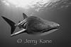 Whale Shark (Rhincodon typus) - Offshore Kona, Big Island, Hawaii