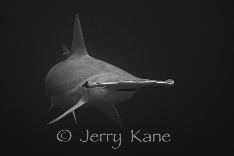 Scalloped Hammerhead Shark (Sphyrna lewini) - Paradise Pinnacles, Big Island, Hawaii