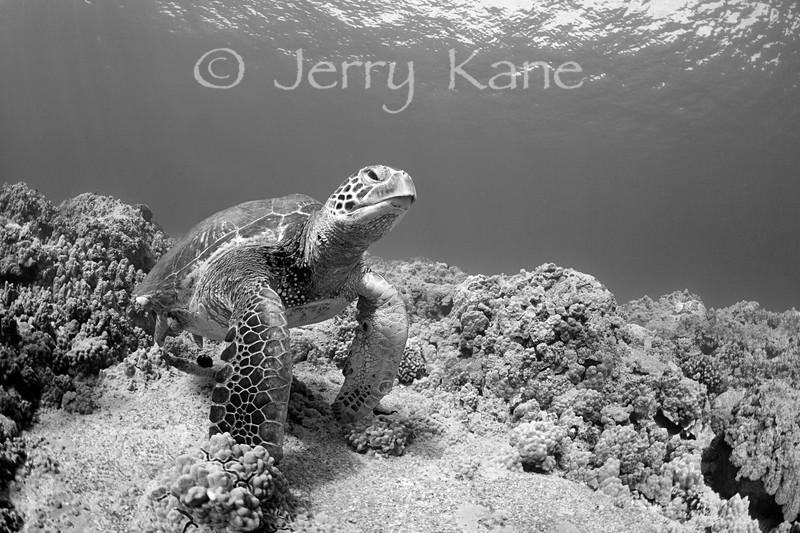 Green Turtle (Chelonia mydas) - Honokohau, Big Island, Hawaii