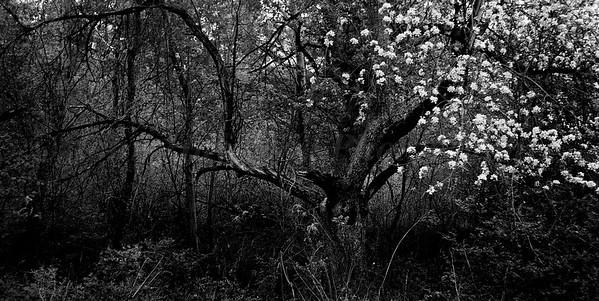 Tree BW 1